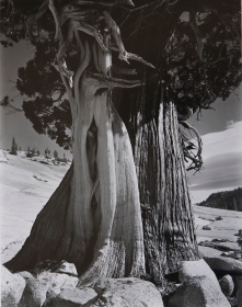 JI-C-2G-832-Juniper-at-Lake-Tenaya-b07-4467