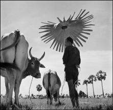 CAMBODIA. Farmer shading himself as he looks after his grazing cows. 1952.